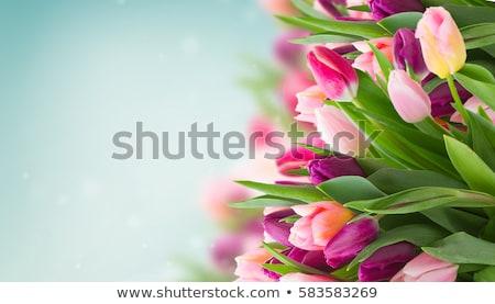 spring tulips on blue stock photo © neirfy