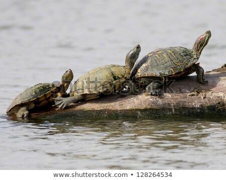 üç kaplumbağalar gölet örnek çiçekler sanat Stok fotoğraf © colematt