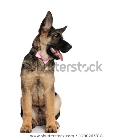 seated german shepard wearing pink bowtie looks down to side Stock photo © feedough