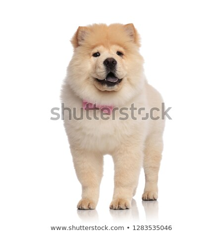 adorable chow chow wearing pink bowtie looks to side Stock photo © feedough