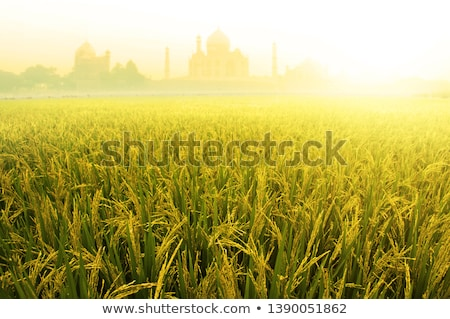 Paddy rice fields with Taj Mahal  Stock photo © szefei