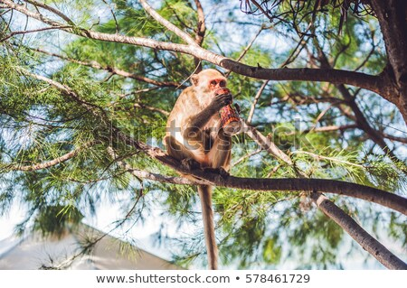 Monkey drinking soda on a tree branch Stock photo © galitskaya