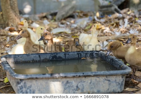 Ducks drink water on the farm. View from above Stock photo © galitskaya