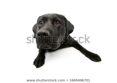 Széles látószögű lövés imádnivaló labrador retriever stúdiófelvétel izolált Stock fotó © vauvau
