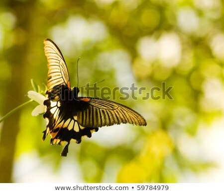Swallowtail butterfly flying and dancing Stock photo © Ansonstock