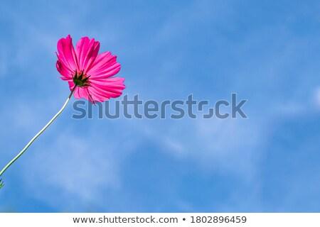 Bloemen blauwe hemel bloem zon natuur ontwerp Stockfoto © nuiiko