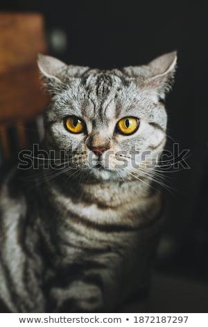 dozy cat portrait Stock photo © prill