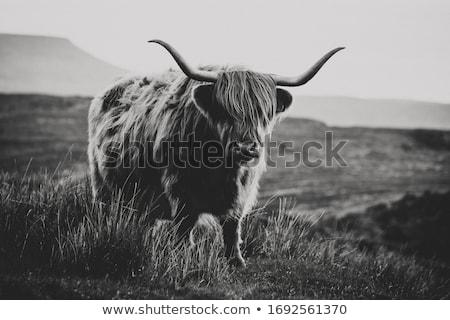 Stockfoto: Koe · veld · oceaan · natuur · landschap · berg