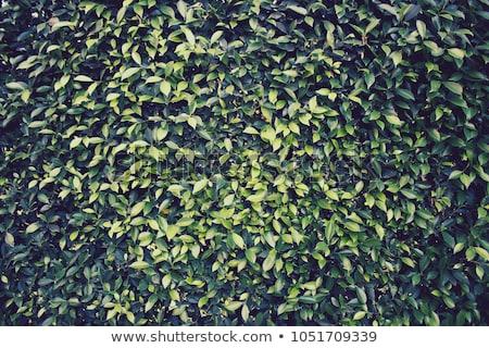 Privet Hedge background Stock photo © Snapshot
