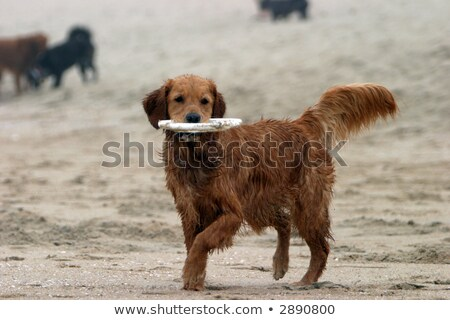 chien · patte · air · cute · terrier - photo stock © eldadcarin