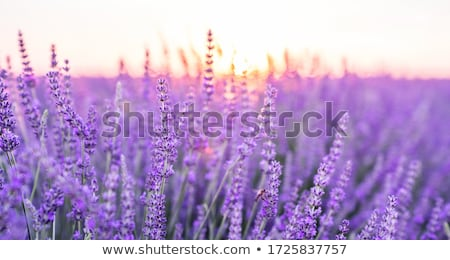 Field of lavender flowers Stock photo © Vividrange