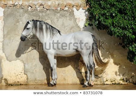 beautiful pura raza espanola pre andalusian horse Stock photo © juniart