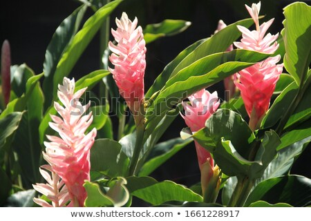 Alpinia flower Stock photo © EllenSmile