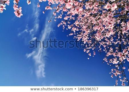 virágzó · gyümölcs · fák · tavasz · park · tájkép - stock fotó © lunamarina