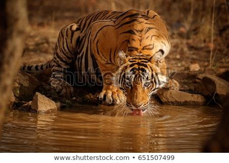Tigre boire cartoon illustration vecteur Photo stock © derocz