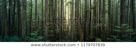 orman · tropikal · sabah · güneş · ışığı - stok fotoğraf © meinzahn