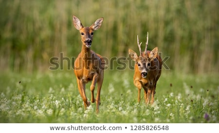 Two young roe deer Stock photo © ivonnewierink