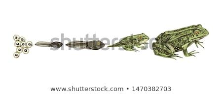 Frog Tadpole Stock photo © mart
