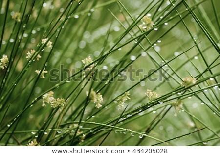 Acele çim doğa bitki beyaz yumuşak Stok fotoğraf © rbiedermann