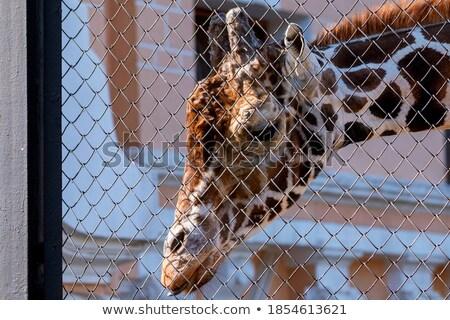 Portrait of a Giraffa  stock photo © Luisapuccini