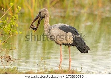 Flock of Asian Openbill in marsh Stock photo © stoonn