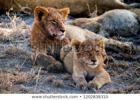 Oroszlán medvebocs fekszik park Dél-Afrika baba Stock fotó © simoneeman