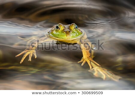vergadering · moeras · wachten · buit · kikker · dier - stockfoto © njnightsky