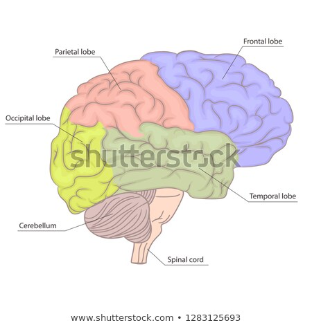 Human brain organ anatomy diagram. colorful design. side view. vector Stock photo © Andrei_