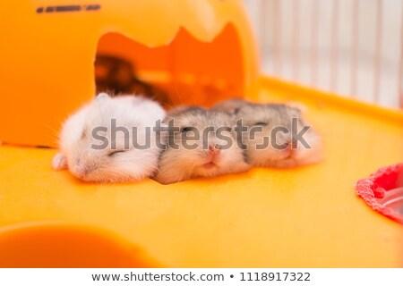 Három fehér kicsi család szem haj Stock fotó © RuslanOmega