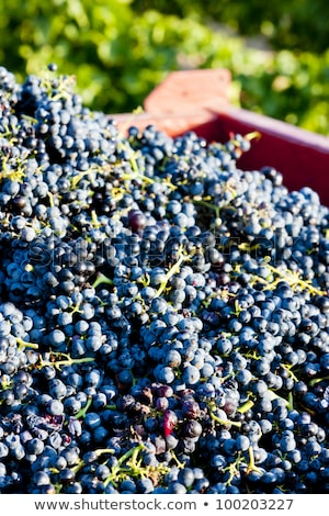 wine harvest in Fitou appellation, Languedoc-Roussillon, France Stock photo © phbcz