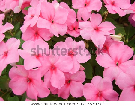 coloré · Daisy · fleurs · pot · à · fleurs · isolé · blanche - photo stock © homydesign