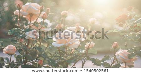 Belo rosa jardim verão folhas Foto stock © yoshiyayo