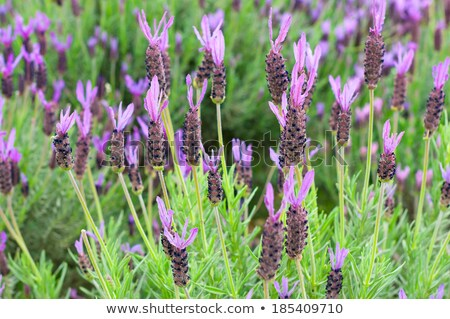 Lavandula Stoechas (French Lavender, Topped Lavender)  Stock photo © Kuzeytac
