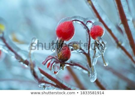 Fagyott rózsa bokor gyönyörű hideg nap Stock fotó © ElinaManninen