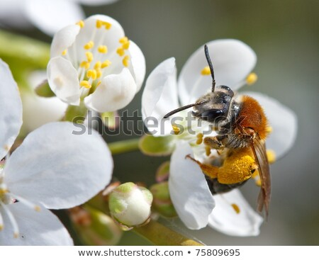 Bee in apple blossom copy space Stock photo © Zela