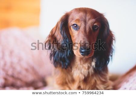 Dachshund  with Long Hair Outdoors Stock photo © Melpomene