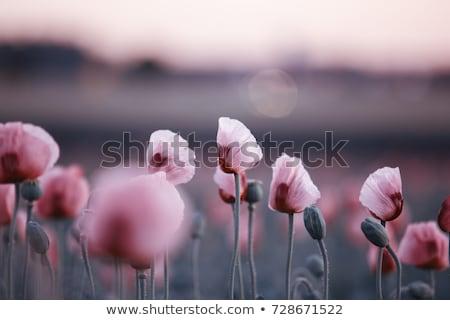 poppy · bloem · peul · groene · zwarte - stockfoto © stocker