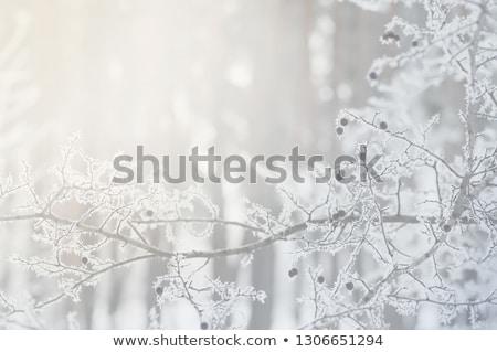 Mroźny sosny igły pokryty lodu Zdjęcia stock © pancaketom