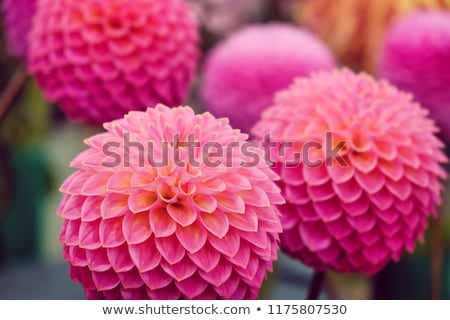 bloem · dahlia · textuur · tuin · achtergrond · zomer - stockfoto © ivonnewierink