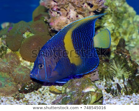 angelfish - Pomacanthus, maculosus Stock photo © Mikko