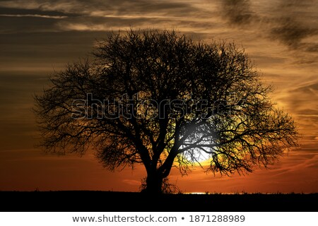 lone elm tree at sunset stock photo © olandsfokus