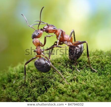 Kettő hangyák üdvözlet ács régi fa szélesvásznú Stock fotó © Yongkiet