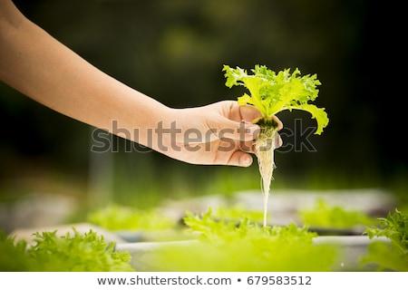 Hand hold fresh hydroponic red oak leaf Stock photo © nalinratphi