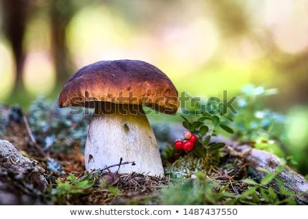 Borowik grzyby świeże surowy trawy Zdjęcia stock © zhekos