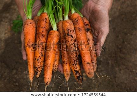 sağlıklı · havuç · doğal · büyümüş · bahçe · mutfak - stok fotoğraf © More86