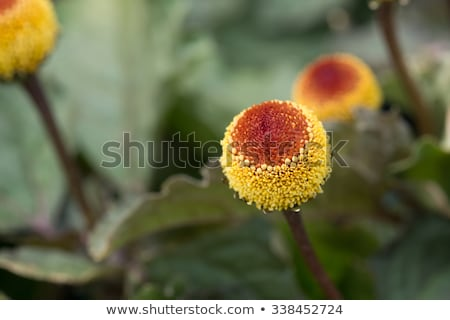 Paracress (Acmella oleracea) Stock photo © rbiedermann