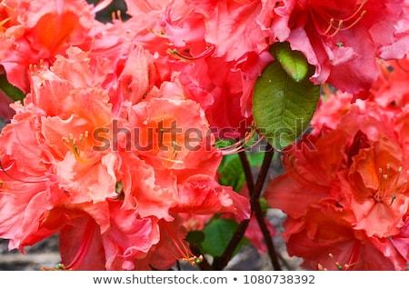 Blooming rhododendron Stock photo © Kotenko