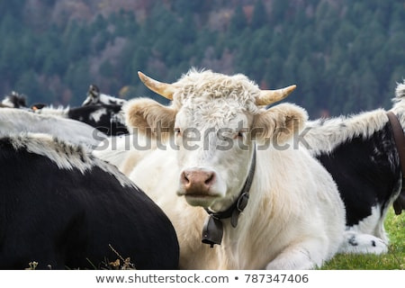 tehenek · testtartás · tehén · festői · mező · felhők - stock fotó © meinzahn
