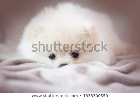 Stock photo: Cairn Terrier portrait in the white studio floor