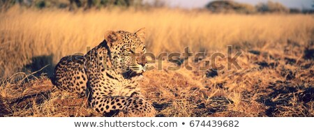 Leopard laying in the grass. Stock photo © simoneeman